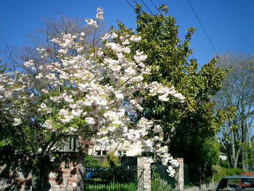Picture of cherry blossom