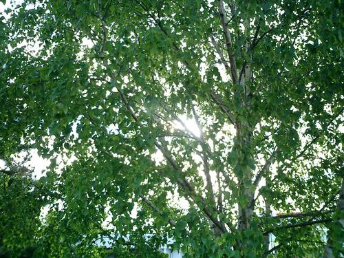 Sunshine through tree leaves